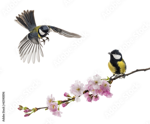 Two great tit flying and perched on a flowering branch