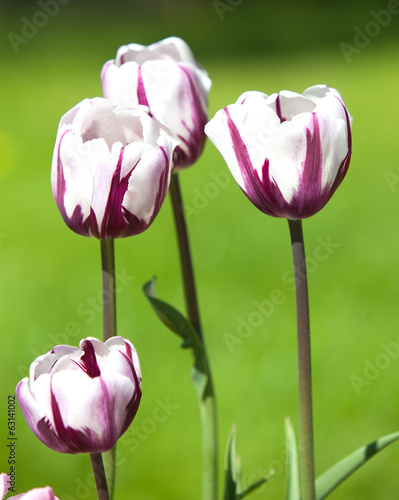 Beautiful tulips of crimson white coloring