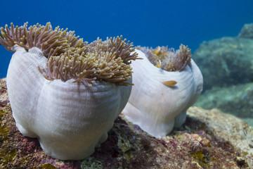 Magnificent sea anemone (Heteractis magnifica)