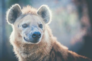 Portrait de hyène