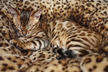 Niedliche kleine Bengalkatze schläft im Katzenkörbchen
