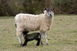 Scottish Mule x  Suffolk - ewe with lamb