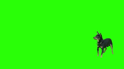 Black small dog exits frame jumping on green screen.