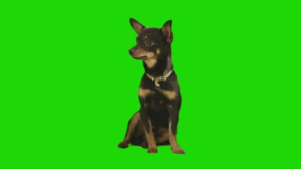 Black small dog sits  on green screen.
