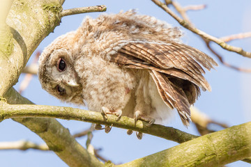 close-up newborn Tawny Owl
