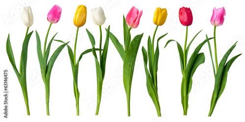 Poster Tulp tulips