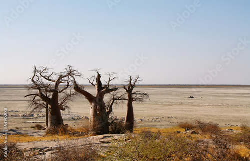 Baobabs on Kubu island in winter