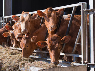 guersney cattle in cowshed