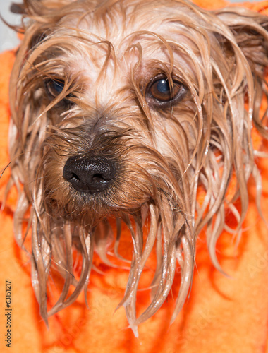 Little wet Yorkshire terrier with orange towel, after the bath
