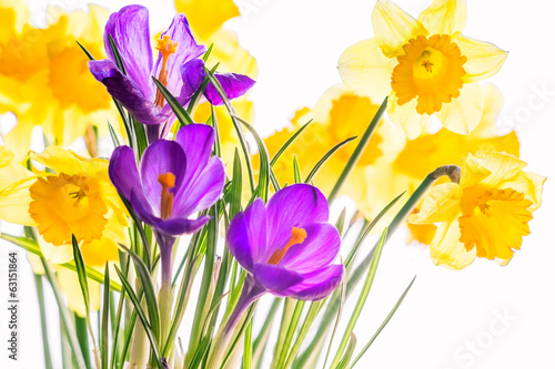 Crocuses and  daffodils, backlit