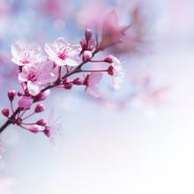 Fleurs fraîches de cerisier frontière