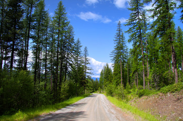 Drive through pine woods in Montana