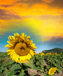 Beautiful sunflower on a field in summer