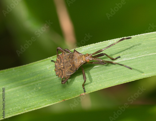 Large brown bug on a grass