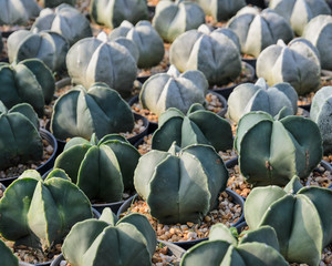 Astrophytum myriostigma or Bishop's Cap Cactus in a nursery