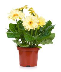 Gerbera in flowerpot