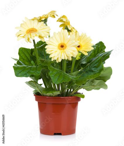 Foto op Plexiglas Gerbera Gerbera in flowerpot