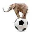 African elephant balancing on a soccer ball.