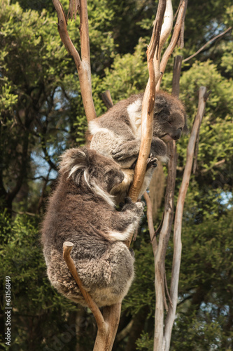 koalas sitting on tree