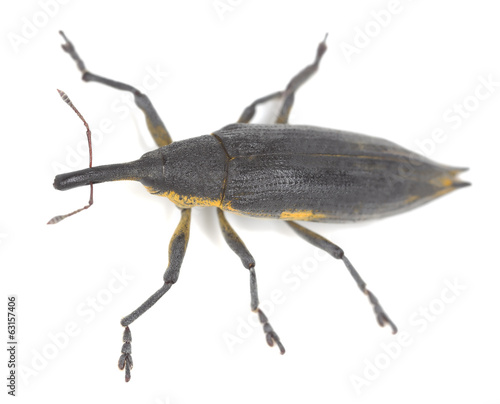 Lixus iridis isolated on white background