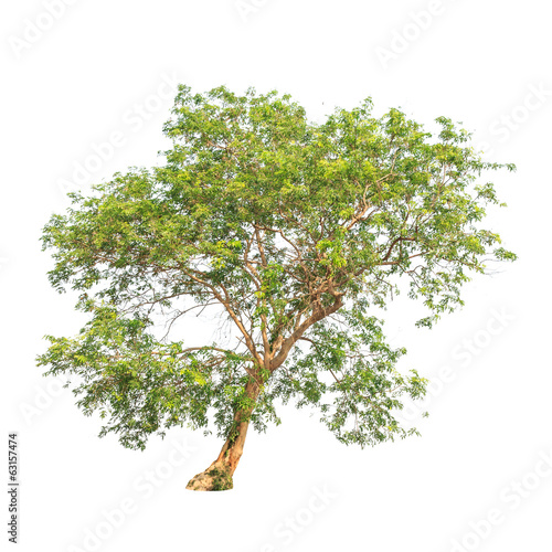 Tropical tree in Thailand Isolated on white background