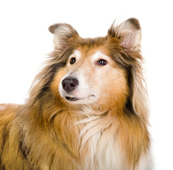 Head rough collie - Scottish shepherd (lassie). sable color.