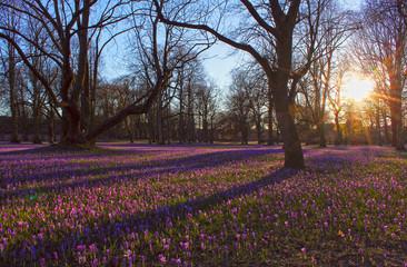 Krokusblüte im Husumer Schlosspark