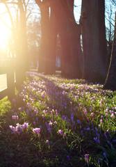 Krokusblüte bei Sonnenuntergang