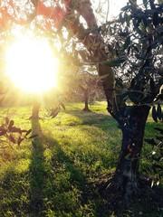 Uliveto al tramonto