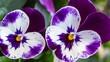Purple white viola macro