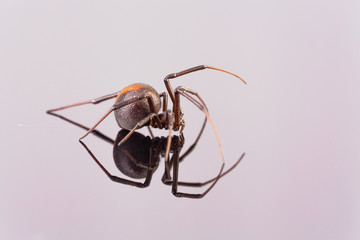 Australian Female Redback Spider side view walking