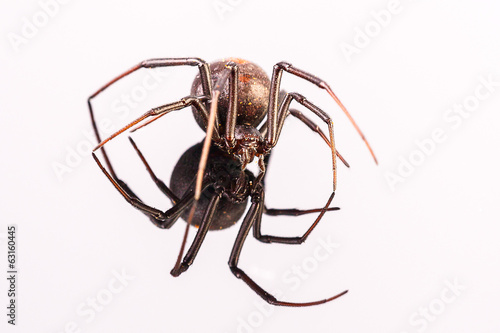 Australian Female Redback Spider walking towards the camera