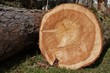 growth rings, larch, felled tree