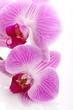 Orchidea su sfondo bianco