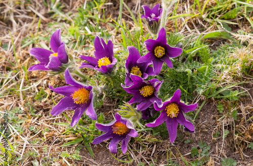 Group of Pasque Flowers