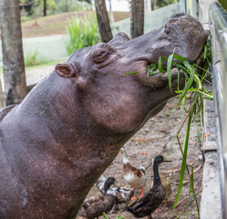 Hippopotamus in captivity