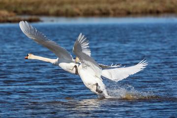 Mute swans chasing