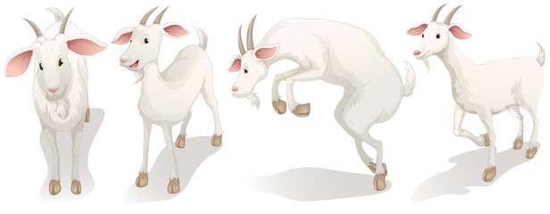 Four white goats