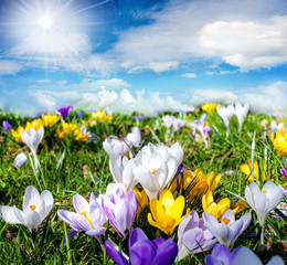 Frühlingserwachen: Bunte Krokus-Wiese :)