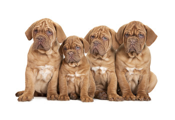 Group Bordeaux puppy dog, isolated on white background