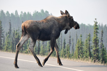 Wild moose crossing the road, Denali national park, Alaska