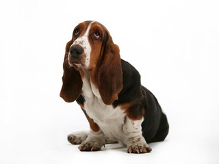 Pick me, cute as a basset