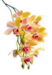 Blooming branch stripped yellow  orchid, phalaenopsis is isolate