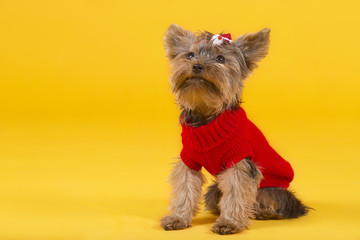 dog yorkshire terrier