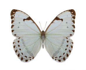 morpho luna batterfly