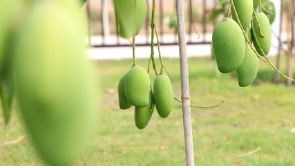 Green mango on tree branch.slide dolly shot.