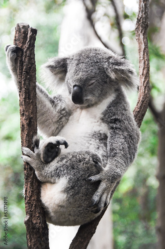 Koala having a rest