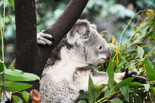 Foto Spatwand Koala Koala eating