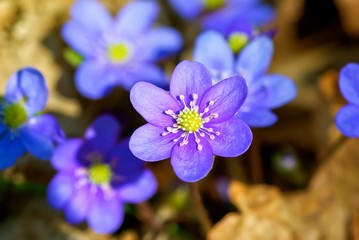 Blue anemone grows among brown leaves.