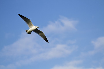 seagull in flight,Larus crassirostris